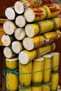 raw sugar cane for juice